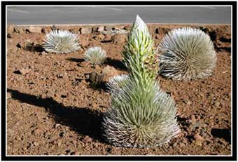 The Hawaii state plant, the silversword.