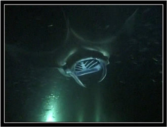 Mantas come out of the darkness.