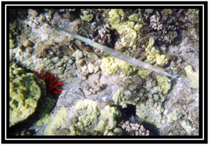 Needlefish, or maybe a trumpetfish, hell I dunno.