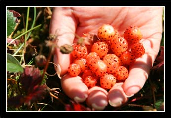 A hand full of wild strawberries