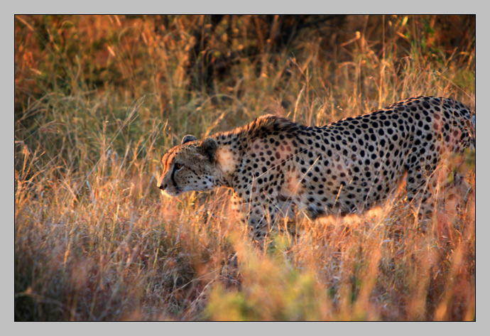 A Cheetah in Kruger National Park, South Africa