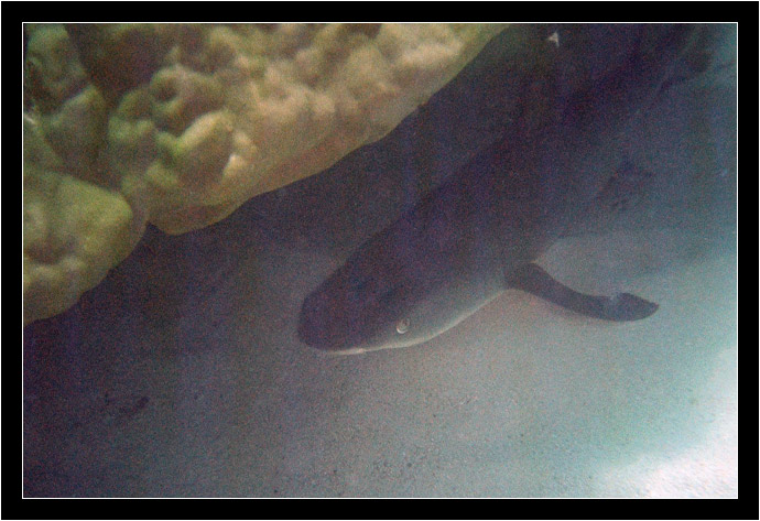 Sleeping White Tip Reef Shark